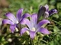 Romulea ligustica (flowers).jpg