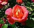 Rosa Decor Arlequin 1.jpg