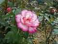 Rosa Handel 2018-07-10 5967.jpg