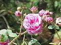 Rosa sp.155.jpg