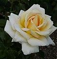 Rosarium Baden Rosa 'Ambiente' Noack 2001 01.jpg