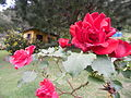 Rosas en Mérida.JPG