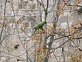 Rose-ringed parakeet in Jerusalem.JPG