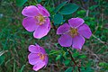 Roses on Hwy 3 S of Fairbanks (5857535722).jpg