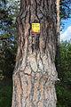 Rotföhre in Engelstein 2015-05 Stamm 1 Naturdenkmal GD-118.jpg