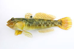 Round goby with a black spot on fin.jpg