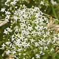 Rubiaceae - Galium mollugo.JPG