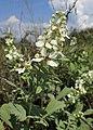 Rubus canescens kz02.jpg