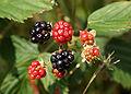 Rubus fructicosus owoce 646.jpg