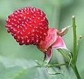 Rubus illecebrosus (fruits).jpg
