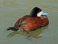 Ruddy Duck (Oxyura jamaicensis) RWD1.jpg