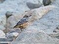 Rufous-tailed Rock-thrush (Monticola saxitilis) (44432720270).jpg