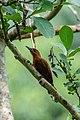 Rufous woodpecker (Micropternus brachyurus) 48.jpg