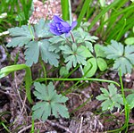 Ruhland, Grenzstr. 3, Balkan-Windröschen im Garten, Blätter und öffnende Blüten, Frühling, 05.jpg