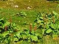 Rumex alpinus IMG 6845^.jpg