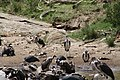 Ruppell's Griffon Vultures and Maribou Storks (7513782534).jpg