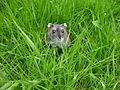 Russian Dwarf Hamster in the Garden (2726439244).jpg