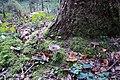 Russula turci - višnjeva golobica.jpg