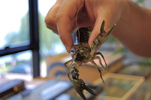English: Rusty crayfish flexing its major chel...
