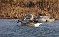 Sångsvan Whooper Swan (13041700275).jpg