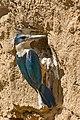 Sacred Kingfisher (Todiramphus sanctus) (8409520005).jpg