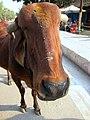 Sacred cow in yer face (5336547169).jpg