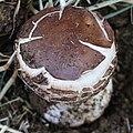 Safranschirmling Chlorophyllum 2816.jpg
