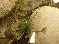 Sagina procumbens plant (18).jpg