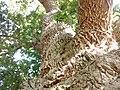 Saint-André-de-Bohon - L'arbre frottou, arbre remarquable (3).jpg