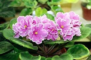 Saintpaulia - a Saintpaulia ionantha plant