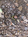 Salamandra rifugio Sauch 02.JPG