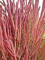 Salicornia rubra (7922173738).jpg