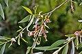 Salix alba (7416553382).jpg