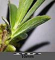 Salix alba sl8.jpg