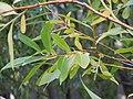Salix lasiandra (5014372479).jpg