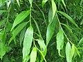 Salix pierotii 43699690.jpg