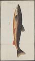 Salmo rutilus - 1700-1880 - Print - Iconographia Zoologica - Special Collections University of Amsterdam - UBA01 IZ14800051.tif
