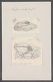 Salpa scutigera - - Print - Iconographia Zoologica - Special Collections University of Amsterdam - UBAINV0274 092 08 0022.tif