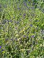 Salvia coahuilensis BotGardBln07122011A.JPG