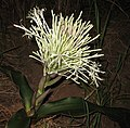 Sansevieria kirkii - inflorescence 2 (5648903082).jpg