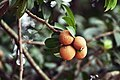 Sapodilla fruits on tree.jpg