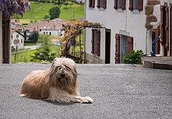 Каталонская овчарка в Сара, Страна Басков, Франция
