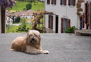 Un berger catalan dans le village français de Sare, au Pays basque. (définition réelle 4097×2827)