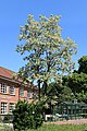 Saterland Scharrel - An der Kirche + Grundschule + Robinia pseudoacacia 01 ies.jpg