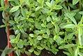 Satureja montana 1zz.jpg