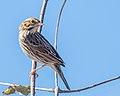 Savannah Sparrow (23989275648).jpg