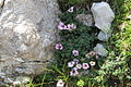 Saxifraga oppositifolia PID1719-1.jpg