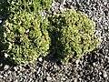 Saxifraga paniculata (Saxifragaceae) plant.JPG