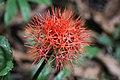 Scadoxus multiflorus (Amaryllidoideae) (24417718596).jpg