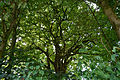 Schleswig-Holstein, Kellinghusen, Naturdenkmal NIK 8577.JPG